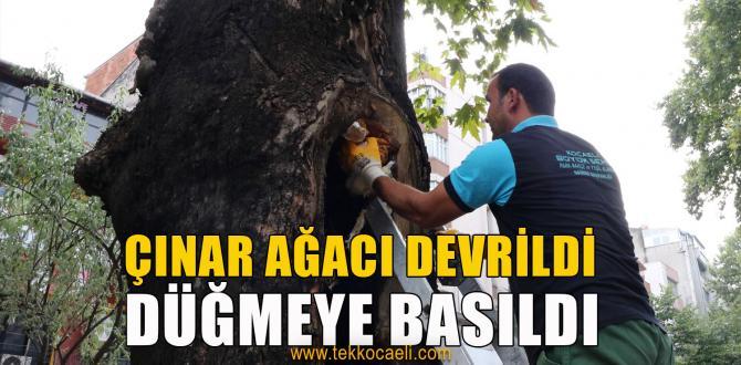İzmit'te Çınar Ağaçları İçin Önlem Alındı