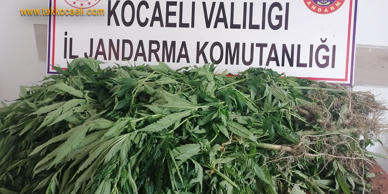 Jandarma'dan Karamürsel'de Kenevir Operasyonu