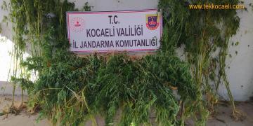 İzmit Kabaoğlu'nda Kenevir Operasyonu