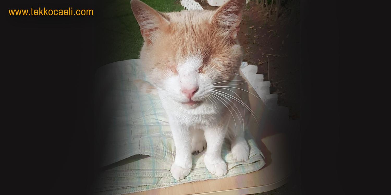 Derviş İsimli Kedi Kayboldu Aranıyor
