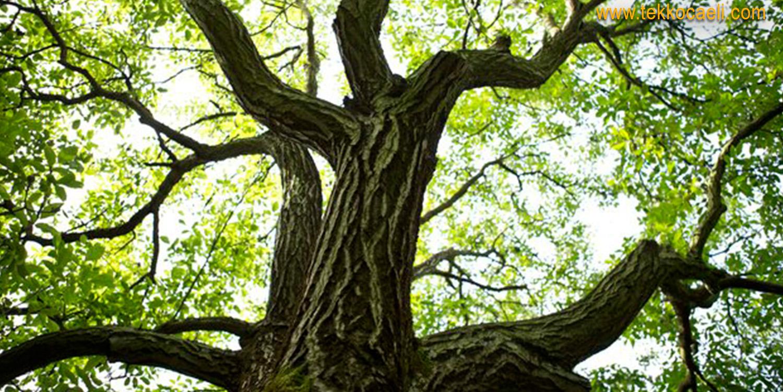 Ceviz Ağacından Düşen Şahıs Can Verdi