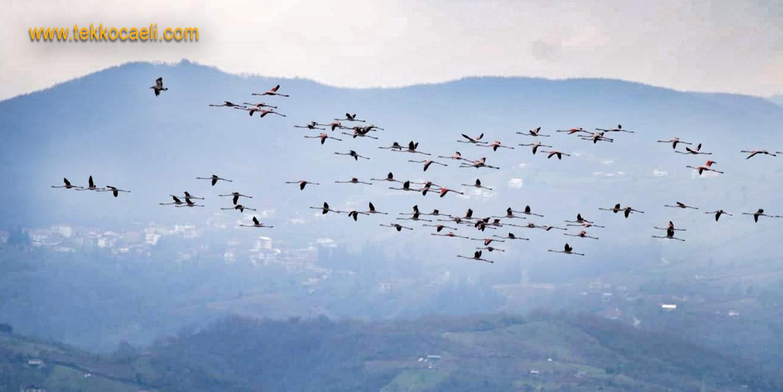 İzmit Körfezi, Flamingoların Yuvası Oldu